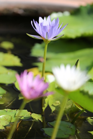 surrounding: Lotus in a pond with bloom in the Morning and green leaves surrounding.