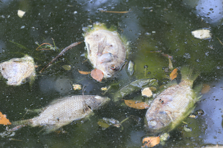 cyprinidae: fishes died because sewage from the industrial factory.