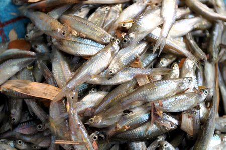 cyprinidae: fathead minnow fish after being caught by fishermen for ingredient cooking.