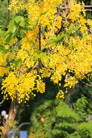 golden shower: Cassia fistula or Golden shower bloom on tree in the garden,In Thailand are named is Ratchaphruek.