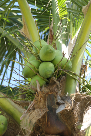 throughout: cocoanut on coconut tree in garden Thailand,This plant of palm and found throughout in seaside tropical.