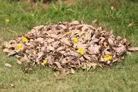 composting: pile of dry leaves on the lawn in the backyard for made organic composting.