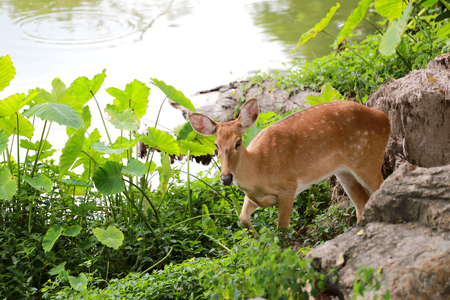 blotched: Deer or young hart animal in the forest Near the pond. Stock Photo