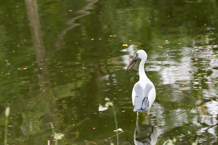 public park: Egret or Pelicans standing in the pond of public park and Seeking the foods.