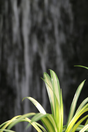 l natural: Chlorophytum comosum L, green leaf in the tropics garden of ornamental plants and have Waterfall backdrop.