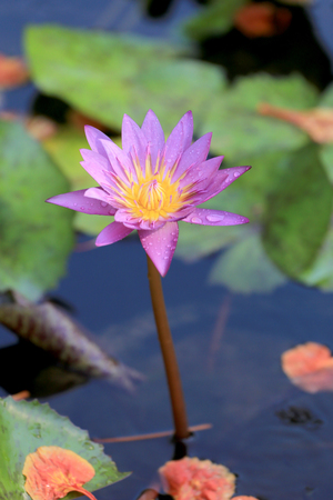 surrounding: Purple lotus in a pond with bloom in the Morning and green leaves surrounding. Stock Photo