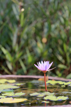 abloom: Pink lotus in a pond with bloom in the Morning and green leaves surrounding.