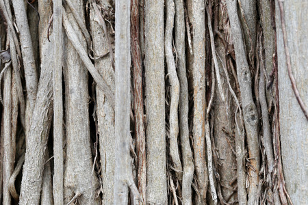 banyan tree: roots or trunk of the banyan tree in the garden for nature background.