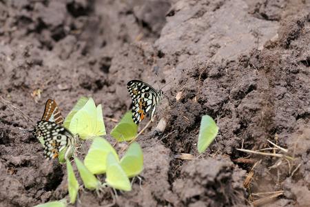mariposas amarillas: mariposas amarillas que comen los minerales en el suelo en áreas agrícolas. Foto de archivo