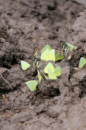 areas: Yellow butterflies eating minerals on the ground in agricultural areas.