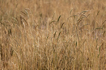 areas: dry grass in agricultural areas for design outdoor nature.