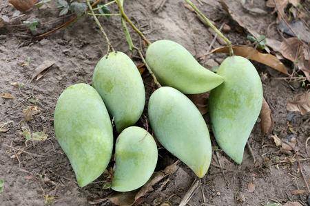 placed: Green Mango is placed on the ground in orchards Thailand. Stock Photo