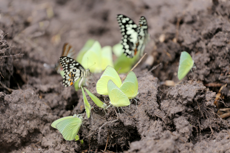 yellow butterflies: Yellow butterflies eating minerals on the ground in agricultural areas.