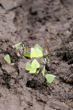 mariposas amarillas: Yellow butterflies eating minerals on the ground in agricultural areas.