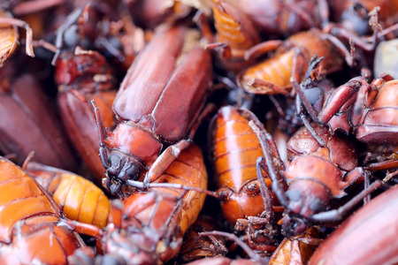 longhorned: The scarab or Beetle and the name in scientifically to Stem-boring grub or Longhorned Beetles This insect tropics,In Thailand Popular used to cook food is delicious.