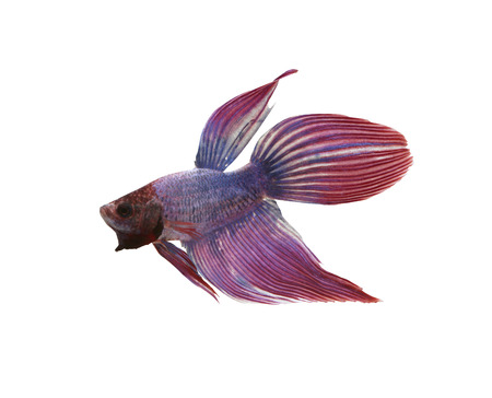 fighting fish: Purple Fighting Fish species Thailand isolated on white background and have clipping paths. Stock Photo