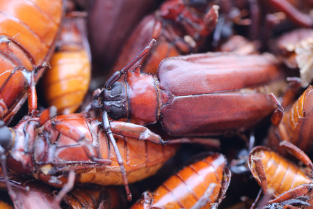 The scarab or Beetle and the name in scientifically to Stem-boring grub or Longhorned Beetles This insect tropics,In Thailand Popular used to cook food is delicious.