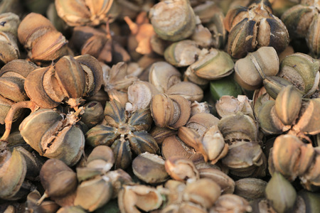 privatization: Ripe fruit of Legumes Sacha inchi or Inca peanut tree,Tropical herbs that are popular in Thailand for privatization to herbs and cook. Stock Photo