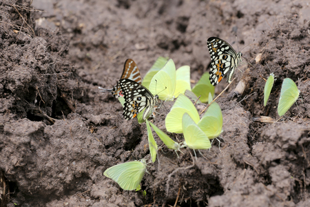 masses: Yellow butterflies eating minerals on the ground in agricultural areas.