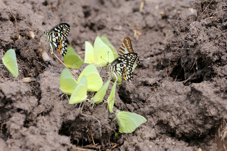 Yellow butterflies eating minerals on the ground in agricultural areas.
