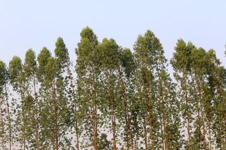 plantando arbol: árbol de eucalipto en la granja, la plantación de árboles de negocio para su entrega a la industria del papel.