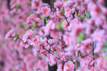 counterfeit: Artificial Pink cherry blossoms (Sakura Flower) in place decorations festive Japanese cuisine foods.