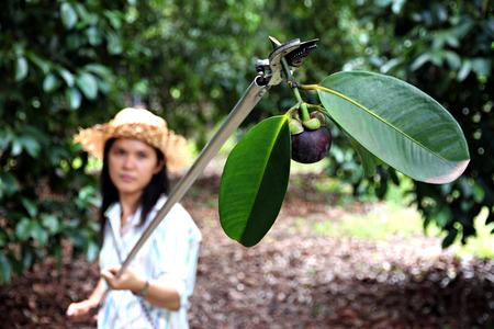 女性農民が熟したマンゴスチン、タイの甘い味のトロピカル フルーツの果樹園で収穫されています。 写真素材