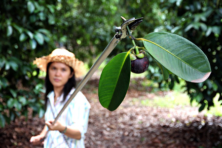 Women farmers are harvesting ripe mangosteen in the Orchard,Thailand tropical fruit in sweet flavors. Banque d'images