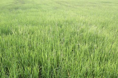 farming area: Bright green rice plant in farming area for design nature background. Stock Photo
