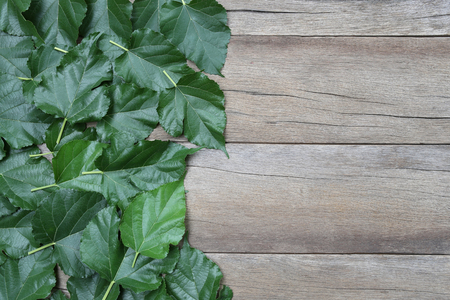 placed: Green leaf of Mulberry placed on the wooden background for nature design. Stock Photo