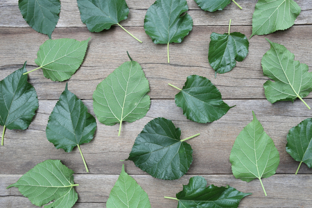 scatters: Green Leaves of Mulberry disrupted on brown wooden background for design concept of nature. Stock Photo