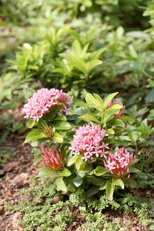 throughout: spike flower or Pink ixora flowers bloom on tree in the public garden,Tropical plants Flowering throughout year.