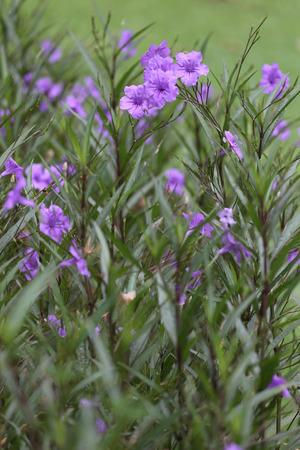 acanthaceae: Beautiful of purple Ruellia tuberosa flower or popping pod bloom in public garden.