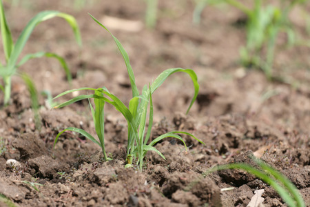 farming area: Seedlings of corn in farming area for concept of agriculture and growing.