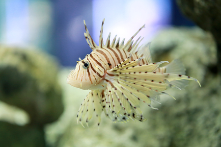 Tropical Devil firefish or Lionfish the name common are swimming in Asia sea Aquarium. Stock Photo