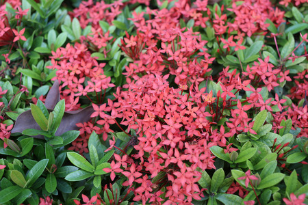 throughout: spike flower or Red ixora flowers bloom on tree in the public garden,Tropical plants Flowering throughout year.