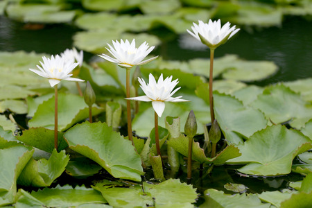 abloom: White Lotus flower bloom in pond,water lily in the public park and green leaves surrounding. Stock Photo