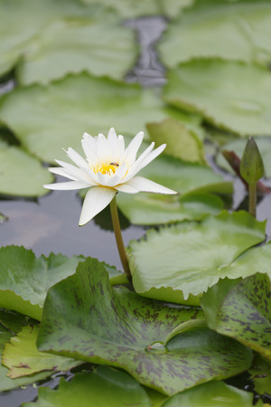 White Lotus flower bloom in pond,water lily in the public park and green leaves surrounding. Stock Photo