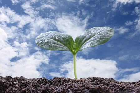 young plant: young plant or green seedling on soil in the vegetable garden and blue sky background,concept of growing and organic plants.