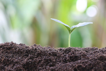 young plant: young plant or green seedling on soil in the vegetable garden,concept of growing and organic plants.