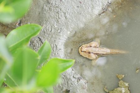 mudskipper: Mudskipper fish in the mangrove forests near coastal sea in Thailand.