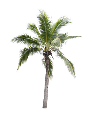 throughout: coconut tree isolated on white background,plant found throughout in seaside tropical. Stock Photo