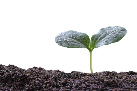 young plant: young plant or green seedling on soil isolated on white background,concept of growing and organic plants.
