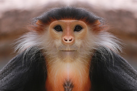 barbary: macaque of Asia,concept of endangered species. Stock Photo