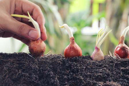 男の手が地面、活動と農業を始めるという考えにエシャロットの種を植えます。 写真素材