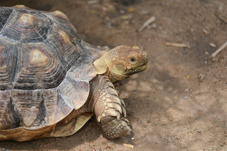 small reptiles: Freshwater turtle on the ground. Stock Photo