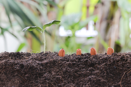 Seedlings of peanut on soil in the Vegetable garden concept of agriculture and growing design. Stock Photo