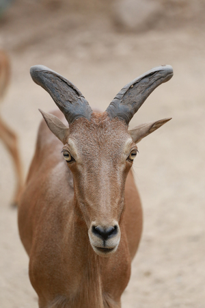 specific: Head of Brown Goat or Capra Hirous in nature and is wildlife species specific.