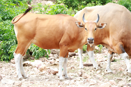 red heifer: Red cow or red bulls in nature. Stock Photo