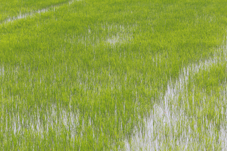 Rice fields in agricultural areas in Thailand. Stock Photo